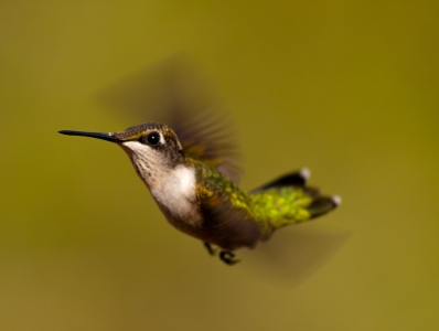 Ruby-throated Hummingbird female by Eric Williams