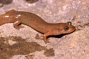 Black Mountain Salamander