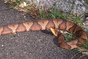 Northern Copperhead on road
