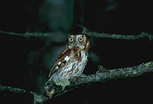 Eastern Screch-owl