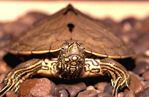 Ouachita Map Turtle